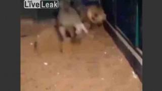 【動画】同じ檻の中で無邪気にライオンにちょっかい出すロバwww