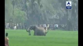 【動画】怒り狂った象が人間を鼻で振り回し踏み潰し殺す…。
