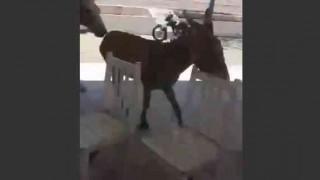 【衝撃動画】勃起したペニスでメスをレストラン内で追いかけまわすロバwww