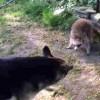 【衝撃動画】シェパード対アライグマの動画。