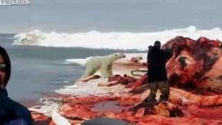 【閲覧注意】シロクマが猟銃で仕留められる瞬間を撮影した動画。