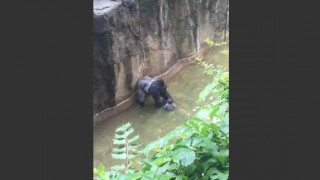 【動画】オハイオ州の動物園で射殺されたゴリラ『Harambe(ハランビ)』の動画。