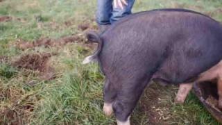 【衝撃動画】豚の尻尾をまっすぐにする方法www