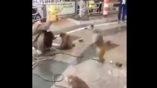 【オモシロ動画】猿回しのおじさんが包丁を持った猿の逆襲にあうwwwww