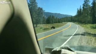 【動画】グリズリーが牛に襲い掛かってる…。