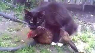 【衝撃動画】異種姦!ネコが鶏に噛みつきながら腰を振る。