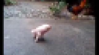 【動画】先天性欠損症で両後足がない豚ちゃんがんばって歩く。