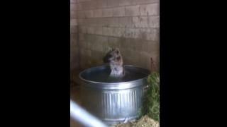 【動画】こっそりのぞいたら湯船ではしゃいでるハイエナw入浴好きだったんだw