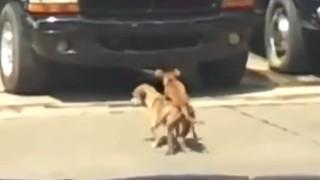 【衝撃動画】交尾をしてオーガズムを迎えたワンちゃんに訪れた悲劇。