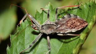 【閲覧注意】南米でカメムシに刺された人間の体、ありえない事になる