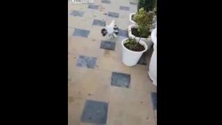 【動画】摘んだ花をガールフレンドにプレゼントする鳩w