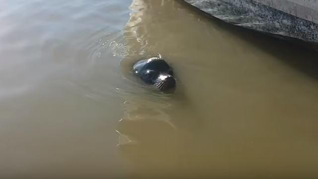 【動物】海から現れたトドがいきなり少女を海に引きづり込んでしまう衝撃動画。